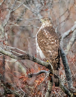 Photograph - Juvenile Sharp-shinned Hawk by Betty Denise