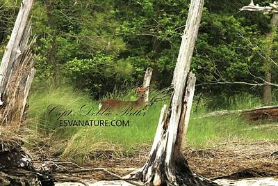 Photograph - Juvenile Sika Elk With Moss Antlers by Captain Debbie Ritter