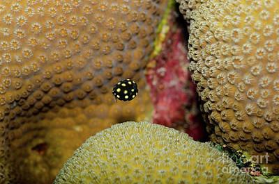Trunkfish Wall Art - Photograph - Juvenile Smooth Trunkfish, Bonaire by Thomas Major