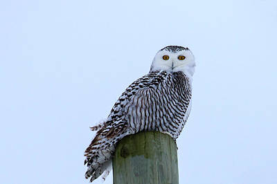 Photograph - Juvenile Snowy Owl by Gary Hall
