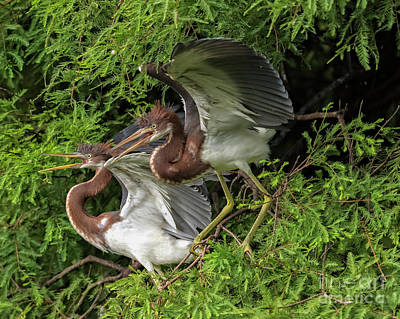 Photograph - Juvenile Tricolored Heron Siblings by Bill And Deb Hayes