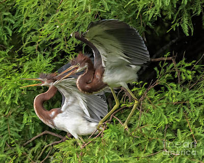 Digital Art - Juvenile Tricolored Heron Siblings Painted by Bill And Deb Hayes