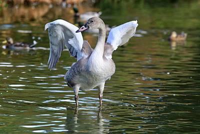Photograph - Juvenile Trumpeter Swan by Lynn Hopwood
