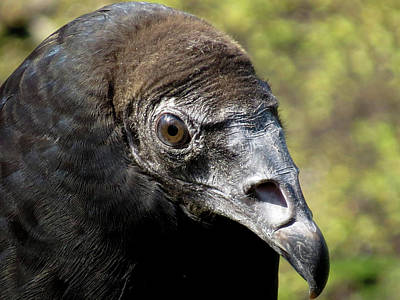Juvenile Turkey Vulture Art Print by Jason King