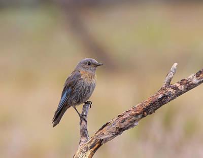 Photograph - Juvenile Western Bluebird by Doug Lloyd
