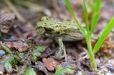 Photograph - Juvenile Western Toad by Sharon Talson