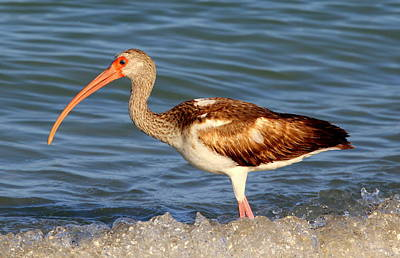 Photograph - Juvenile White Ibis by Sean Allen