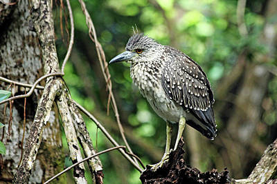 Photograph - Juvenile Yellow Crowned Night Heron by Debbie Oppermann