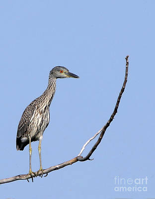 Photograph - Juvenile Yellow-crowned Night Heron by Elizabeth Winter
