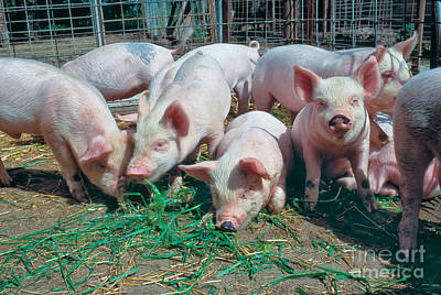 Pink Pigs Photograph - Juvenile Yorkshire Hogs by Inga Spence