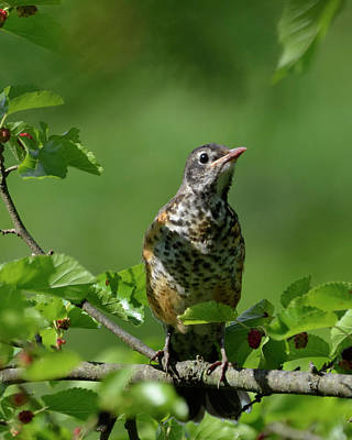 Photograph - Juvenille Robin by Ann Bridges