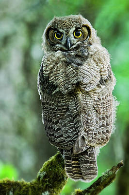 Photograph - Juveniule Owlet by Craig Strand