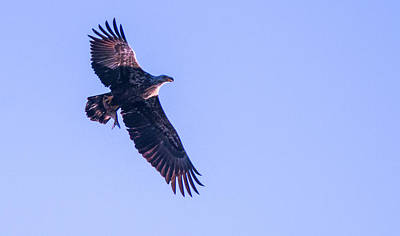 Photograph - Juvie Bald Eagle With Fish In Flight by Jeff at JSJ Photography