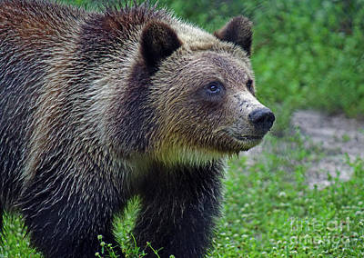 Photograph - Juvie Grizzly by Larry Nieland