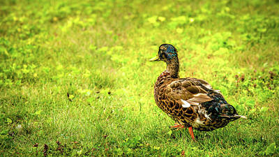Photograph - Juvinile Mallard by Onyonet  Photo Studios
