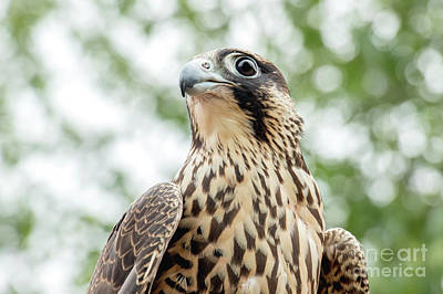 Photograph - Juvinille Peregrine Falcon by Angie Rea