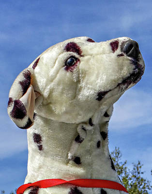 Photograph - Dalmatian  by Dennis Dugan