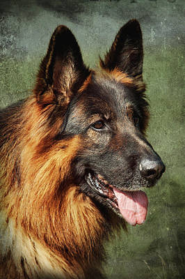 Photograph - K 9. Long Haired German Shepherd by Jenny Rainbow
