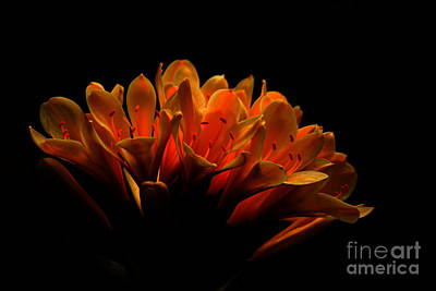 Photograph - Kaffir Lily by James Eddy