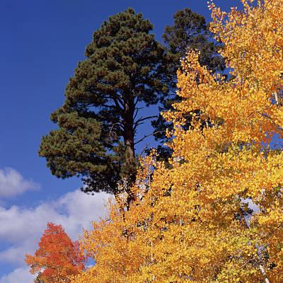 Photograph - Kaibab Autumn Colors-sq by Tom Daniel