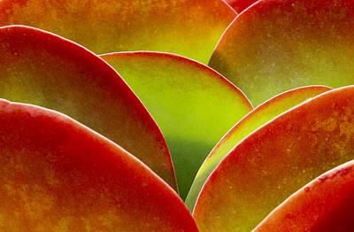Kalanchoe Thyrsiflora Art Print