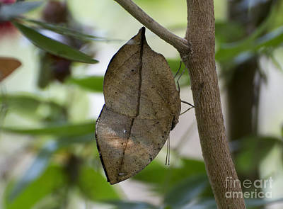 Photograph - Kallima Inachus Butterfly by Pietro Ebner