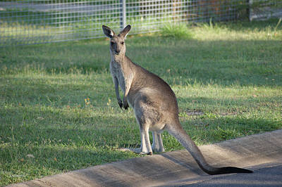 Photograph - Kangaroo 1 by Gary Crockett