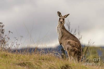 Photograph - Kangaroo 2 by Werner Padarin