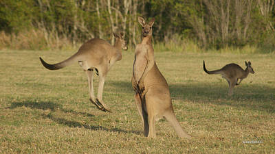 Photograph - Kangaroo 3 by Gary Crockett