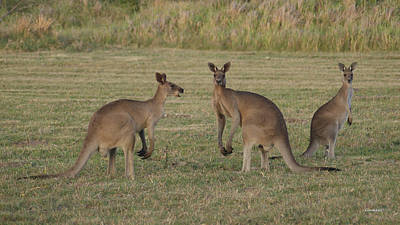 Photograph - Kangaroo 4 by Gary Crockett