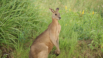 Photograph - Kangaroo 6 by Gary Crockett