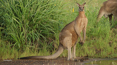 Photograph - Kangaroo 8 by Gary Crockett