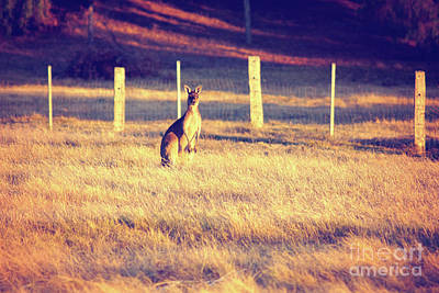 Photograph - Kangaroo At Dusk by Cassandra Buckley