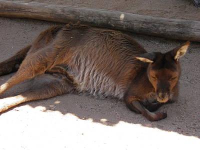 Kangaroo Photograph - Kangaroo Having A Nap by Viktor Milenkov