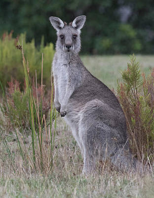 Photograph - Kangaroo In The Wild by Masami IIDA