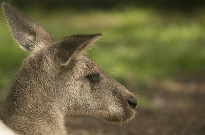 Photograph - Kangaroo by Michel DesRoches
