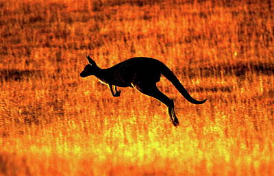 Kangaroo Sunset Art Print
