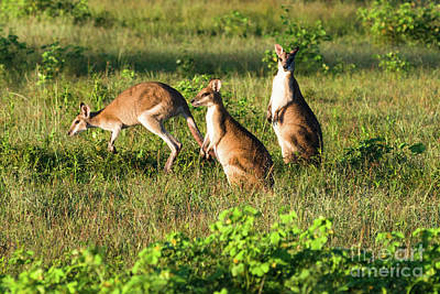 Photograph - Kangaroos by Andrew Michael