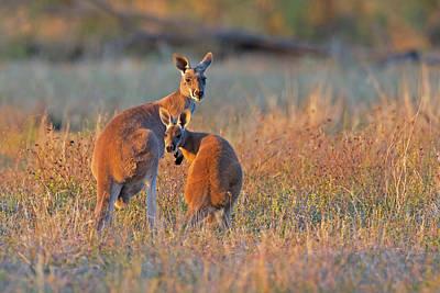 Photograph - Kangaroos by Jean-Luc Baron