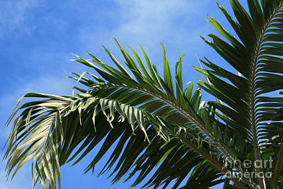 Photograph - Kaniu Coconut Palm From The Gardens Of Heaven by Sharon Mau