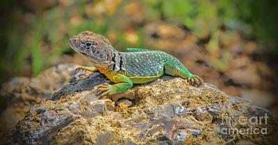 Collared Lizard Photograph - Kansas Collared Lizard by Elizabeth Winter