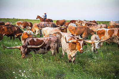 Photograph - Kansas Flint Hills Longhorns by Steven Bateson