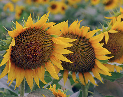 Photograph - Kansas Sunflower by Don Wolf