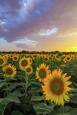 Photograph - Kansas Sunflowers by Kyle Findley