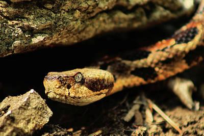 Photograph - Kansas Timber Rattlesnake Closeup by JC Findley
