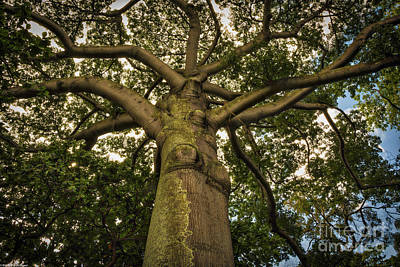 Photograph - Kapok Tree by Mitch Shindelbower