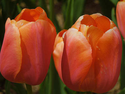 Photograph - Kathy's Tulip Pair by Peg Toliver