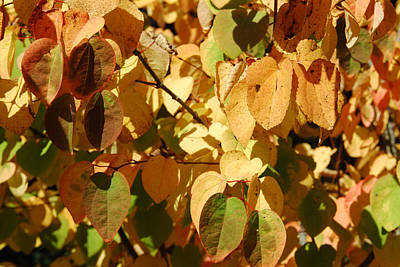 Katsura Wall Art - Photograph - Katsura Leaves In Autumn by Ken Day