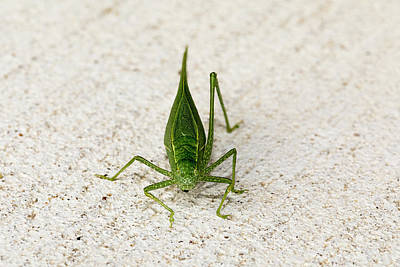 Photograph - Katydid Front by Josh Bryant