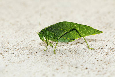 Photograph - Katydid Side 01 by Josh Bryant